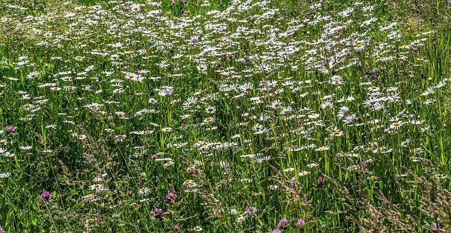 Meadow, Chamomile, Flowers, White Flowers, Field