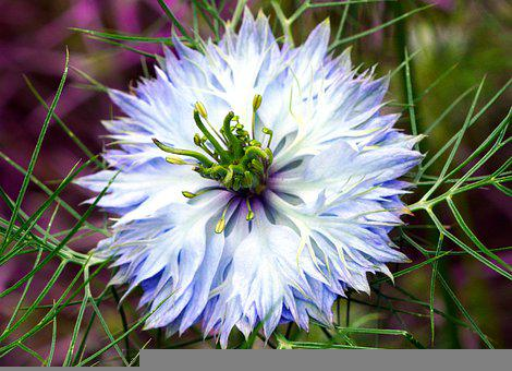 Love In A Mist, Flower, Plant, Blue Flower, Petals