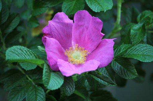 Rose Hip, Pink Flower, Petals, Pink Petals, Flower