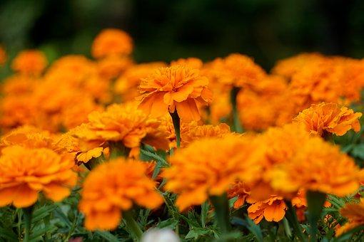 Orange, Flowers, Petals, Orange Petals, Orange Flowers