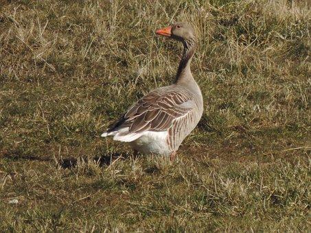 Greylag Goose, Goose, Bird, Waterfowl, Water Bird