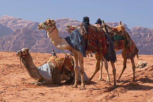 Camels, Desert, Wadi Rum, Jordan, Heat, Caravan, Sand