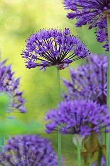 Ornamental Onion, Flowers, Plant, Leek, Allium