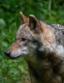 Wolf, Animal, Wildlife, Gray Wolf, Mammal, Head, Snout