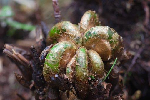 Fiddleheads, Fern, Plant, Furled, Flora, Nature, Macro