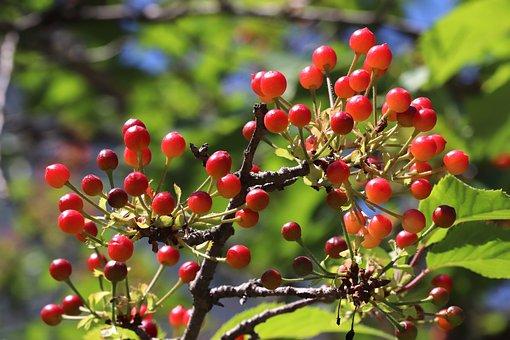 Cherry, Fruits, Branch, Cherry Fruit, Organic