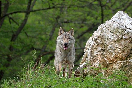 Wolf, Animal, Meadow, Gray Wolf, Canis Lupus, Wildlife