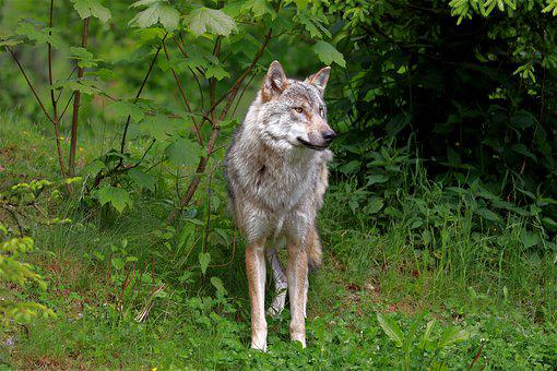 Wolf, Animal, Forest, Gray Wolf, Canis Lupus, Wildlife