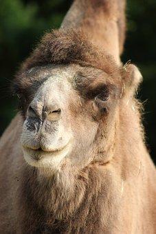Camel, Close Up, Animal Portrait, Hump, Animal