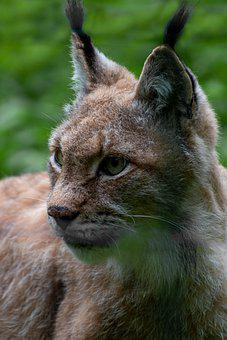 Lynx, Animal, Wildlife, Mammal, Carnivore, Wildcat