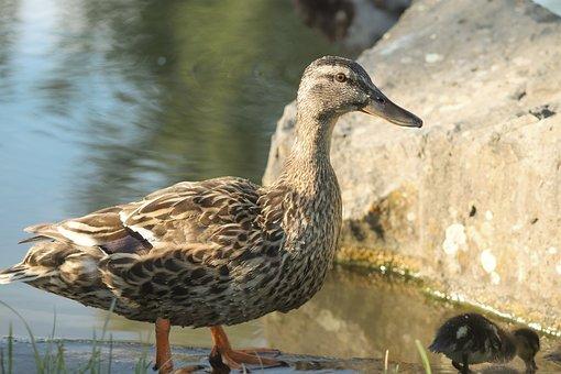 Duck, Mallard, Female, Water Bird, Duck Bird, Bird