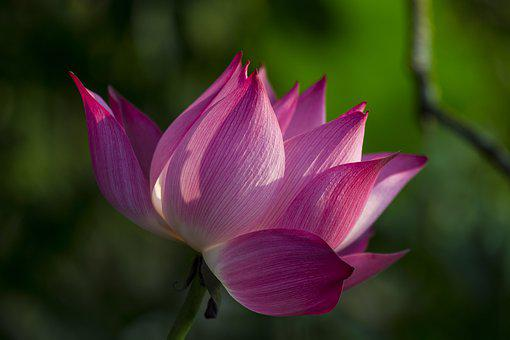 Lotus, Flower, Pink Flower, Lotus Flower, Bloom