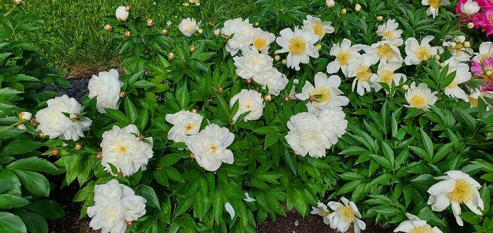 Flowers, White Flowers, Garden, Plants
