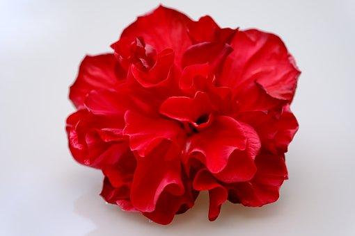Flower, Hawaiian Rose, Petals, Red Rose, Red Flower