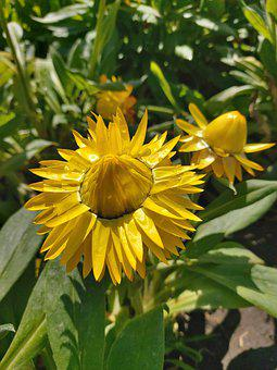 Flowers, Plant, Heliopsis Helianthoides, Heliopsis