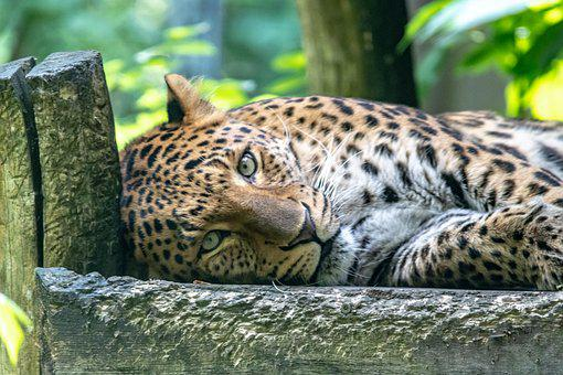Leopard, Feline, Whiskers, Carnivore, Predator, Lying