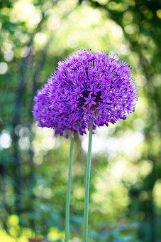 Leek, Flowers, Plant, Allium, Ornamental Onion
