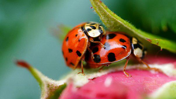 Ladybug, Pair, Beetle, Insect, Nature, Pairing