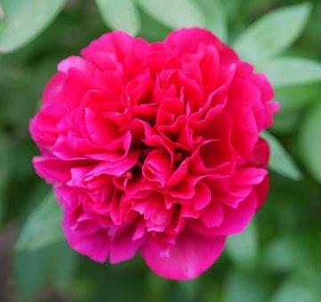 Rose, Flower, Plant, Red Rose, Red Flower, Petals