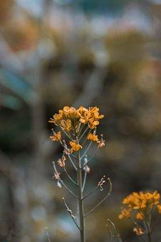 Field Mustard, Flowers, Plant, Yellow Flowers, Bloom