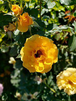 Roses, Bee, Pollination, Plant, Flowers, Petals