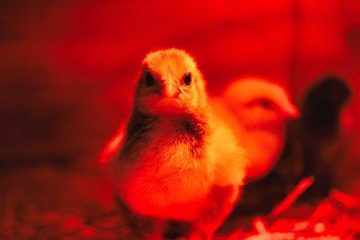 Chick, Chicken, Bird, Poultry, Baby Chicken, Animal