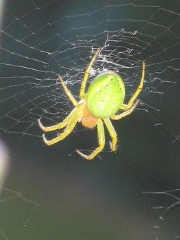 Spider, Pumpkin Spider, Insect, Arachnid, Wheel Spider