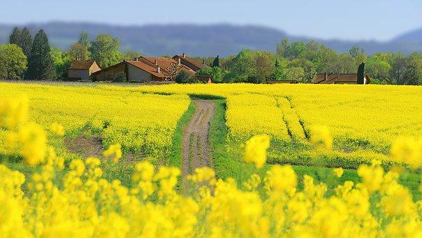 Rapeseed, Field, Meadow, Road, Pathway, House, Farm