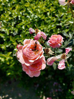 Rose, Bee, Pollination, Plant, Flowers, Petals