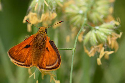 Butterfly, Skipper, Pollinate, Pollination