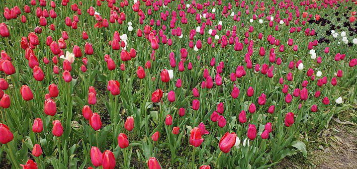 Tulips, Flowers, Field, Meadow, Tulip Garden