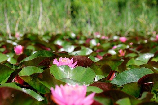 Lotus, Flowers, Plants, Water Lily, Pink Flowers, Bloom