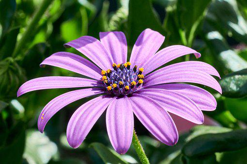 African Daisy, Purple Daisy