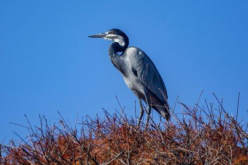 Bird, Crane, Beak, Feathers, Plumage, Ave, Avian