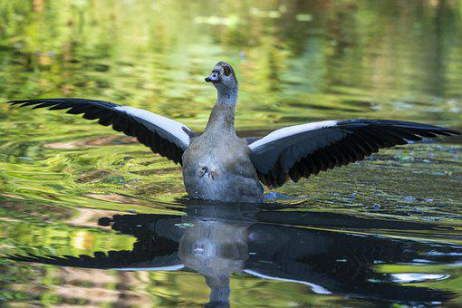 Goose, Bird, Water, Reflection, Beak, Wings, Feathers