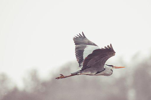 Grey Heron, Bird, In Flight, Heron, Nature, Bill