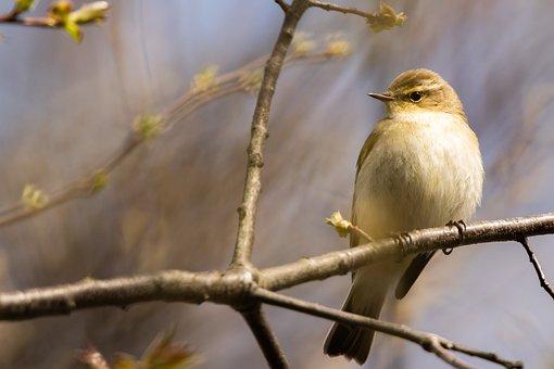 Chiffchaff, Bird, Branches, Perched, Perched Bird