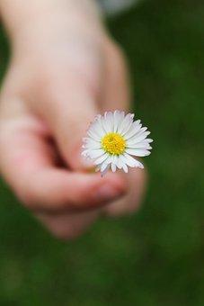 Daisy, Flower, Plant, Common Daisy, White Flower