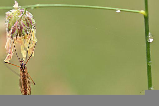 Cranefly, Insect, Grass, Morning Dew, Dew, Dewdrops