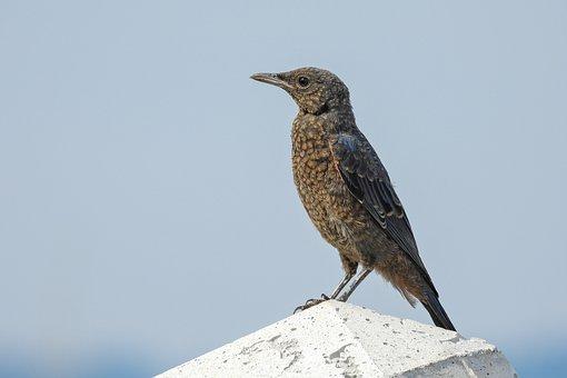 Bird, Method Bulbul, Brown-eared Bulbul, Beak, Down