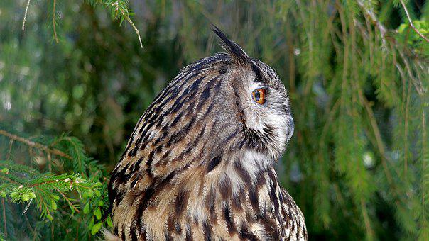 Eagle Owl, Bird Of Prey, Raptor, Wild Bird, Portrait