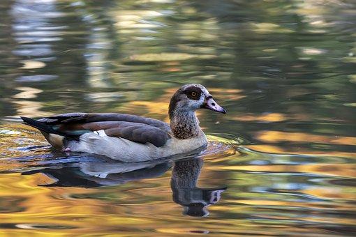 Goose, Bird, Water, Reflection, Beak, Feathers, Plumage