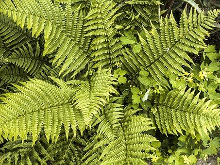 Fern Leaves, Fern, Leaves, Plant, Greenery, Foliage