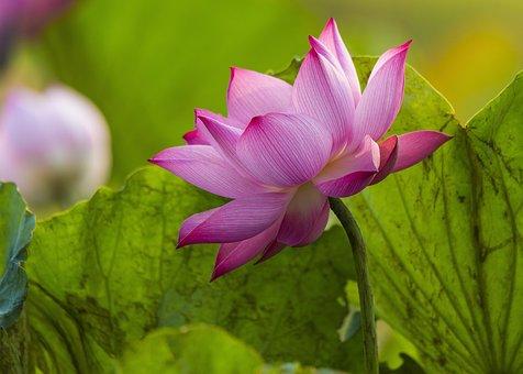 Lotus, Flower, Pink Flower, Lotus Leaves, Lotus Flower