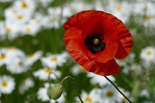 Poppy, Flower, Red Poppy, Red Flower