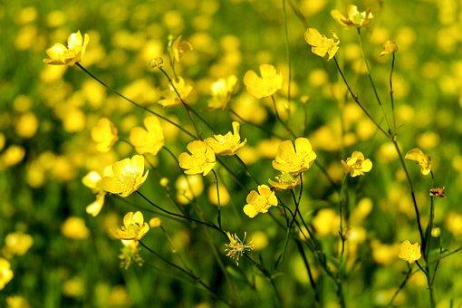 Buttercups, Flowers, Yellow Flowers