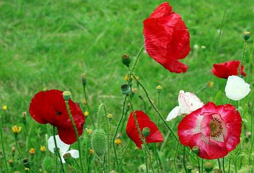 Poppies, Wildflowers, Meadow, Red Poppies, Flowers