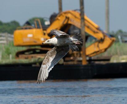 Seagull, Bird, Flying, Gull, Animal, Wildlife, Wings