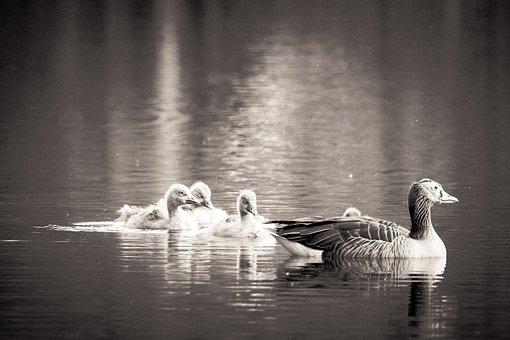 Geese, Birds, Goslings, Family, Goose Family