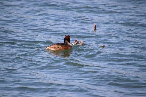 Grebe, Birds, Baby Grebe, Wading, Eating Fish